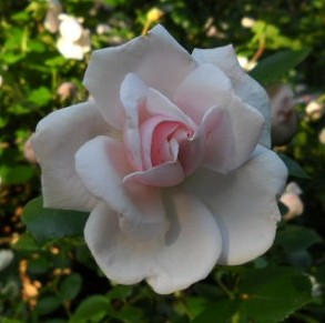 pink-white rose just opening