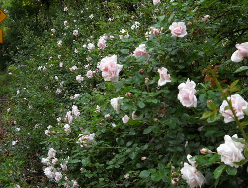 a huge hedge of the pink rambler roses