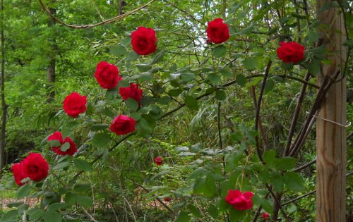 a perfect arc of red roses rambling off an arbor post