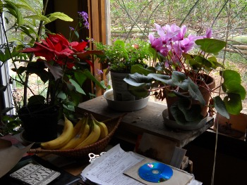 houseplants flowering next to my desk