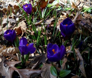 blooming purple crocuses