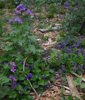 violets, periwinkle, and moneyplant blooming in the yard