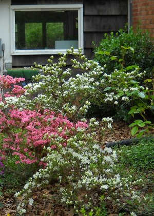 white and pink azaleas by the house, the ones outside my bedroom window