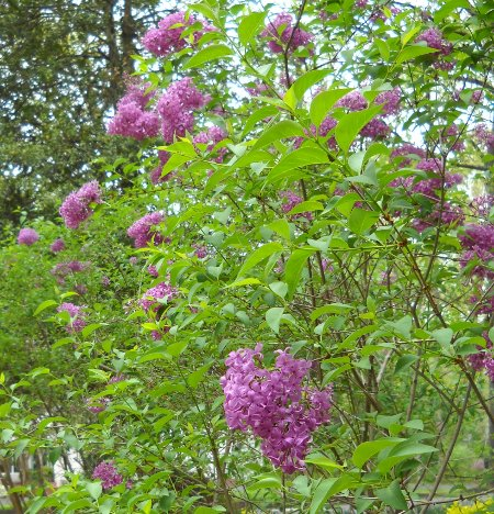 close-up of the blooming lilacs