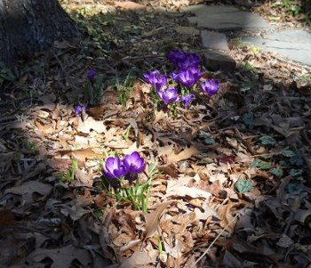 purple crocus blooming through the old Fall leaves in a patch of sunlight