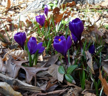 purple crocus blooming through the old Fall leaves