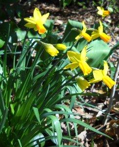 daffodyls