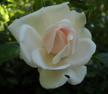 a rose in bloom, from the entry The Name of the Rose